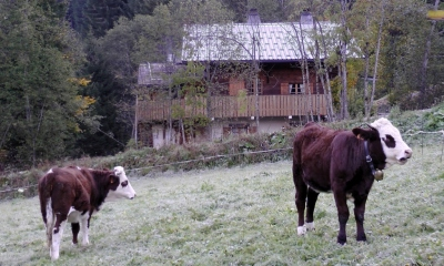 Cows grazing next to the chalet